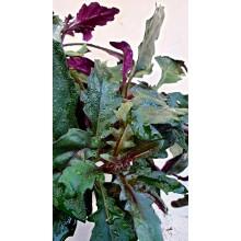 Gynura bicolor - Okinawan Spinach