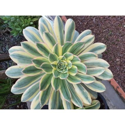 Aeonium cv. Sunburst