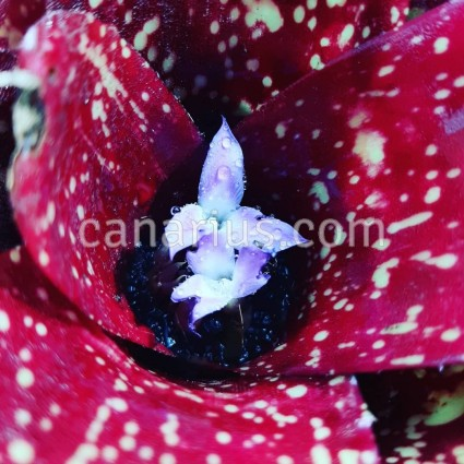 Neoregelia x 'Sailor's Warning'