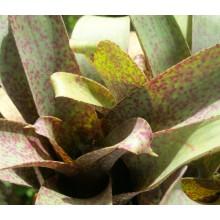 Vriesea saundersii