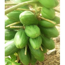 Carica papaya 'Tutti Frutti'