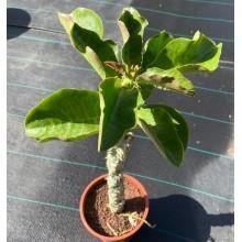Monadenium arborescens