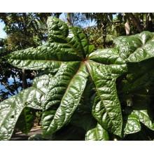 Abelmoschus manihot 'Tonga' - Aibika