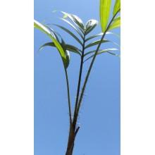 Oncosperma tigillarium