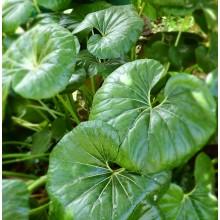 Ligularia tussilaginea -Farfugium japonicum