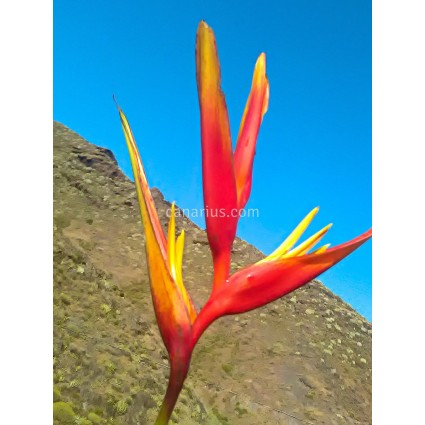 Heliconia x 'Golden Torch Adrian'