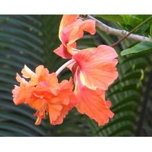 Hibiscus rosa-sinensis 'El Capitolio Sport'