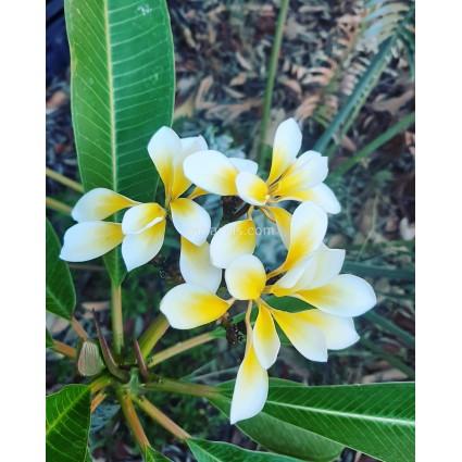 Plumeria 'Bali Whirl' - Double Flowers !