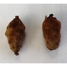 Spathantheum fallax