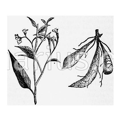 Maranta arundinacea - West Indian Arrowroot