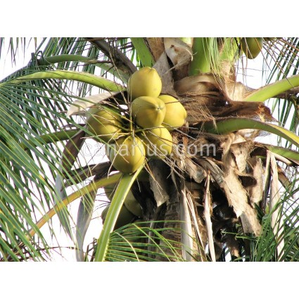 Cocos nucifera 'Yellow Tall'