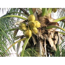 Cocos nucifera 'Green Tall'