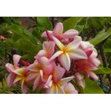 Plumeria cv. Sally Moragne