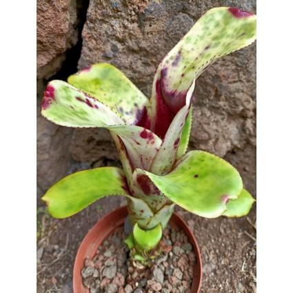 Aechmea nudicaulis Blumenau