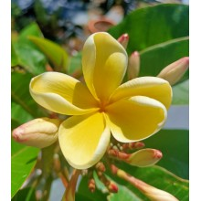 Plumeria  'Heidi Gold'