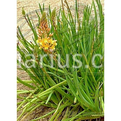 Bulbine frutescens Orange Form