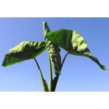 Colocasia esculenta 'Pii Alii'