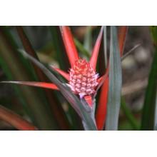 Ananas lucidus