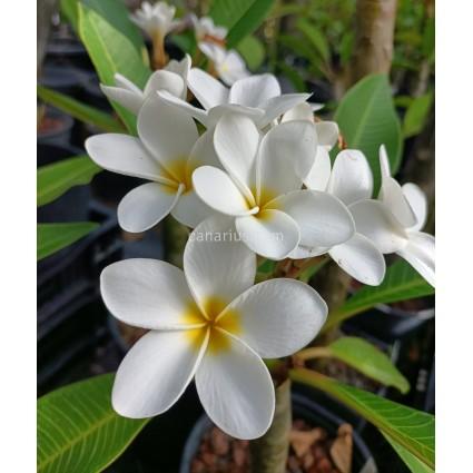 Plumeria  'King Kalakaua'