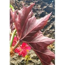 Begonia x 'Sophie Cecile'