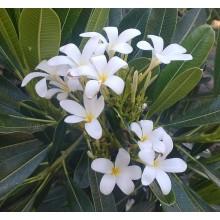 Plumeria obtusa 'Cuban Dwarf'