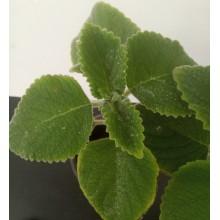 Plectranthus foetidus 'Mt. Carbine'