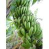 Musa cv. Gros Michel - Platanera, Banana