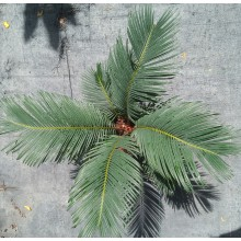 Cycas x 'Rev Form' (C.revoluta x C.debaoensis F2)