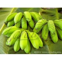 Musa cv. Orinoco, Topocho - Banana Tree