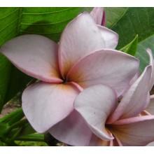Plumeria 'Violet Princess'