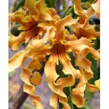 Strophanthus boivinii