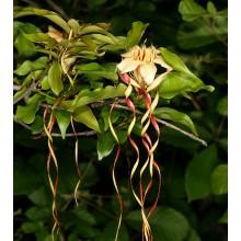 Strophanthus petersianus