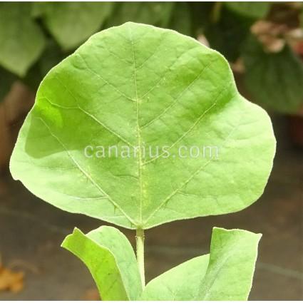 Erythrina melanacantha