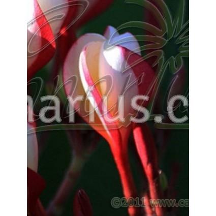 Plumeria 'Shell Type Waimanalo'