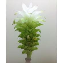 Curcuma longa - Turmeric