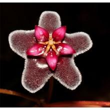 Hoya pubicorolla Quezon