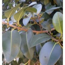 Ficus rubiginosa 'Australis'