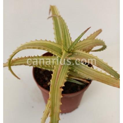 Aloe arborescens 'Variegata'