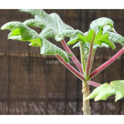 Uncarina roeoesliana - Lobed leaf form