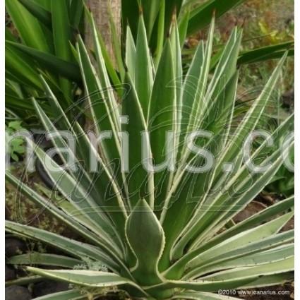 Agave vivipara cv. marginata