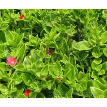 Aptenia cordifolia x A. haeckeliana