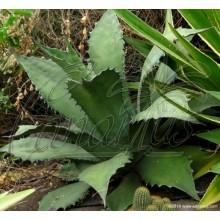 Agave salmiana var. ferox
