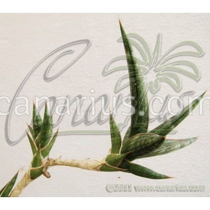 Sansevieria sp Bally 12681
