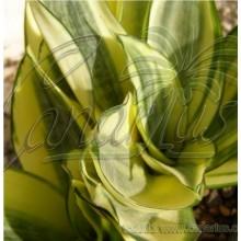 Sansevieria trifasciata cv Golden Hahnii
