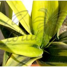 Sansevieria trifasciata cv Goldflame