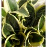 Sansevieria trifasciata cv Hahnii Jade Marginata