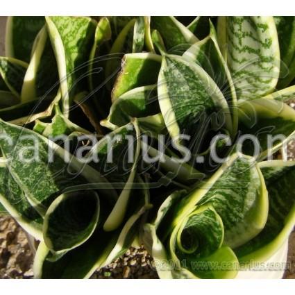 Sansevieria trifasciata cv Hahnii Marginata