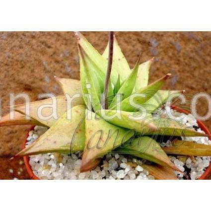 Haworthialimifolia var. ubomboense