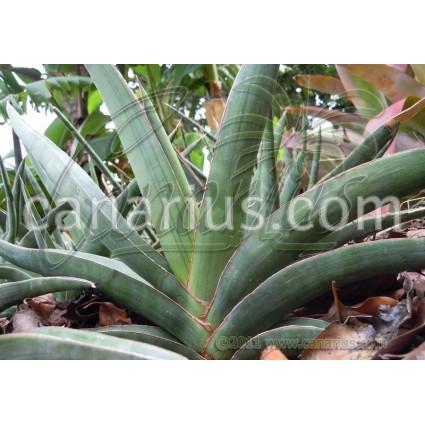 Sansevieria ehrenbergii - Large Plant