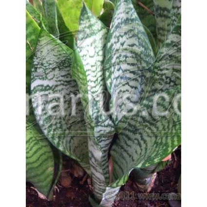 Sansevieria trifasciata cv Robusta